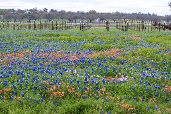 fredericksburg tx wildflower farm