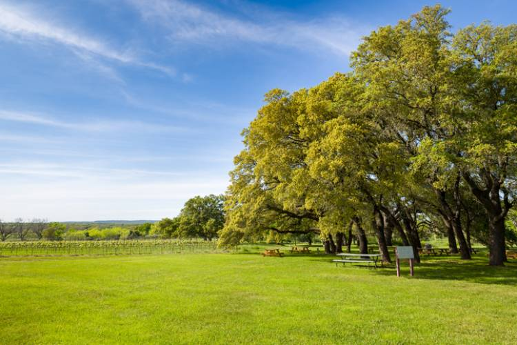 A lush green field near a vineyard lined with old trees in Fredericksburg, Texas