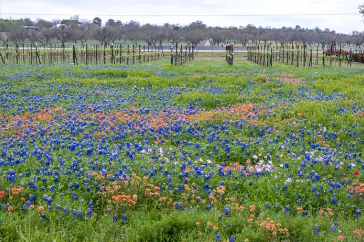Fredericksburg Texas wildflowers outside a vineyard in the spring