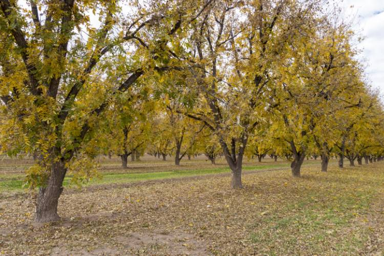 Pecan trees in a Fredericksburg, TX orchard ready for harvest as their leaves begin to change in Autumn